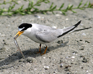California Lease Tern