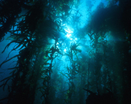 Underwater Kelp Beds